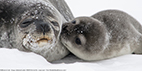 Weddell seal puppies